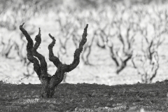 tonisanchis-viñas